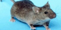 image: A Mouse Model of Autism?