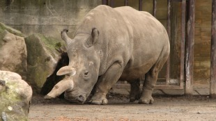 Northern white rhinoceros, Ceratotherium simum cottoni