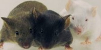 image: Mouse Genomes Catalogued