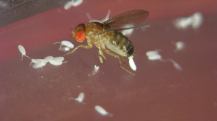 Drosophila mauritiana female laying eggs