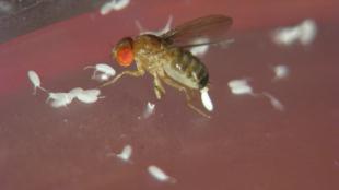 Drosophila mauritiana female laying eggs