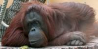 image: Orangutans Have Culture