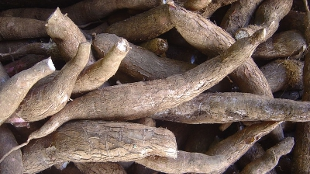 image: Proteinaceous Cassava Lacks Protein