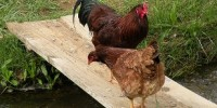 image: Bird Flu Vax Spurs Virus Evolution