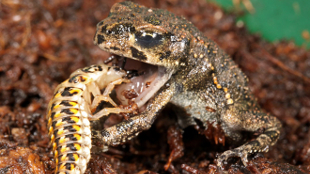 A Epomis ground beetle larva latches onto a frog's tongue.