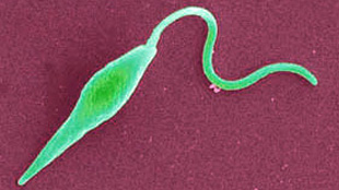 Leishmania parasite
