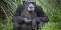 image: Illegal Breeding at Chimp Facility?