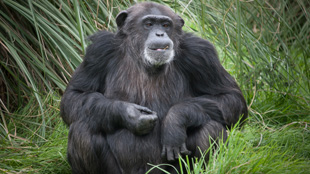 image: Illegal Breeding at Chimp Facility?