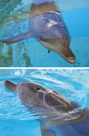Nari's massive wound heals as the dolphin recuperates at Sea World. The top photo was taken on March 1, bottom photo on March 25.