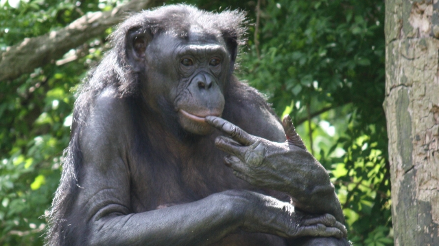 Bonobo are bisexual