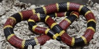 image: Snake Toxin Reveals Pain Clues