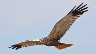 A female marsh harrier