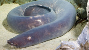 Eptatretus cirrhatus, a hagfish species