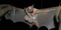 The little epauletted fruit bat—this female crad­­ling her young—is one of the species DeeAnn Reeder and her team collected in South Sudan.