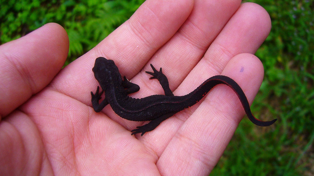 Japanese fire-bellied newt Kenta Hayashi