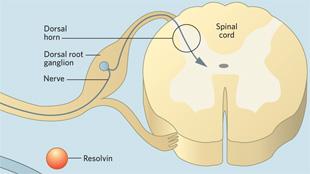 Infographic: Resolvins in Chronic Pain View full size JPG | PDF