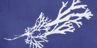 Cyanotype of Fucus ceranoides from Anna Atkins' Photographs of British Algae: Cyanotype Impressions, Part II New York Public Library