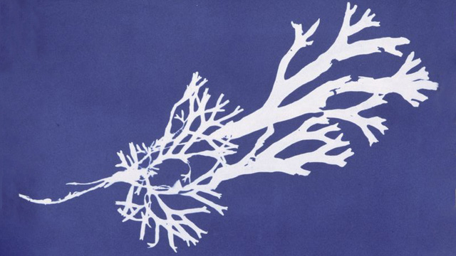 Cyanotype of Fucus ceranoides from Anna Atkins' Photographs of British Algae: Cyanotype Impressions, Part II