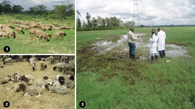 THE FIRST SIGNS: The spread of Rift Valley fever is intimately tied to the management of livestock. The flock of sheep (1), initially photographed in early fall 2006 in Kenya, for example, was left to graze openly and ventured into the flooded wetlands, or dambos, where the sheep were bitten by mosquitoes carrying Rift Valley fever virus. When the same flock was photographed again in March 2007 (2), 80 to 90 percent of the sheep had died of the disease. Scientists catch mosquitoes from a dambo in Kenya in October 2006 (3) to test for the presence of Rift Valley fever virus.