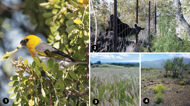 A DOUBLE-EDGED SWORD: The approximately 1,200 palila honeycreeper birds left in the wild have been restricted to the dryland forests hugging the slopes of the Mauna Kea volcano on the island of Hawaii. There the critically endangered bird nests and feeds mainly on the seeds of the mamane tree (1), also endangered. To protect both the mamane tree and the palila from the destructive grazing of goats, a patch of dryland forest on the western slope of Mauna Kea known as Kipuka Alala was fenced off in 2001. Remote and on-the-ground analysis of vegetation density and composition in Kipuka Alala suggests that the removal of goats seems to have had the unintended effect of enabling the expansion of invasive weed species such as fountain grass (3) and fireweed (4, with a mamane tree growing in the background). Both are of major concern because fountain grass increases the risk of intense wildfires, and fireweed is toxic to livestock.