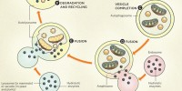 image: How Autophagy Works