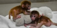 image: World's First Chimeric Monkeys