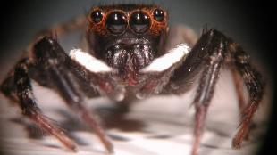 Adanson's jumping spider