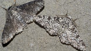 image: Peppered Moths Re-examined