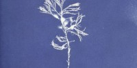Cyanotype of Cystoseira ericoides from Anna Atkins' Photographs of British Algae: Cyanotype Impressions, Part I New York Public Library