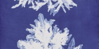 Cyanotype of Delesseria sinuosa from Anna Atkins' Photographs of British Algae: Cyanotype Impressions, Part V