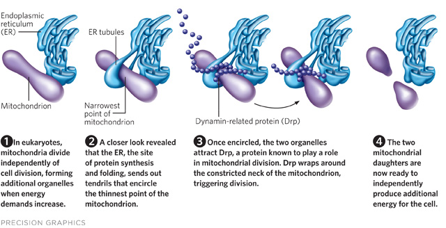 how do organelles work together in a cell