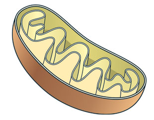 The mitochondrion has been proposed as another possible source of the autophagosome's membrane, as light microscopy analyses of fluorescently tagged cells showed developing autophagosomes and mitochondria in close proximity. As with the ER, a physical connection between the two organelles has also been observed.