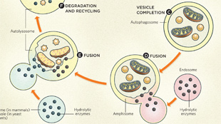 Infographic: How Autophagy Works  View full size JPG | PDF