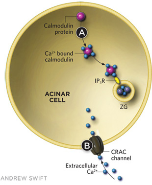 SEARCHING FOR THERAPIES  Some compounds have shown promise in reducing intracellular trypsin activation, which triggers acute pancreatitis. Calmodulin, a cytosolic calcium-binding protein found in normally functioning acinar cells, prevents ethanol from eliciting the release of substantial amounts of Ca2+ from intracellular stores, which can prematurely activate trypsin. Small peptide activators of calmodulin (such as CALP-3) can be added to the outside of acinar cells to help mobilize calmodulin and prevent the toxic effects of high alcohol concentrations. Calmodulin helps prevent trypsin activation by binding to inositol trisphosphate receptors (IP3Rs), which inhibits Ca2+ release from ZGs. Caffeine has been shown to have similar inhibitory effects on IP3Rs in ZG membranes (A).There is also the potential for small molecule therapies that interfere with CRAC function and thus alter the influx of extracellular Ca2+ (B).