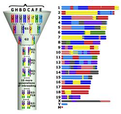 A unique funnel breeding scheme is used to derive each CC strain