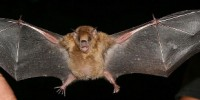 image: Influenza Found in Bats