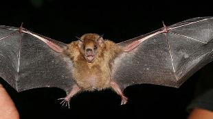 image: Influenza Found in Bats