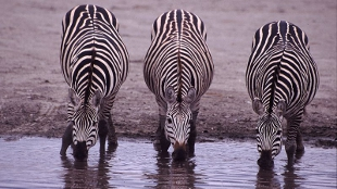 image: How the Zebra Got Its Stripes