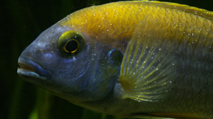 Fish showing the characteristic white dots of an Ichthyophthirius multifiliis infection.