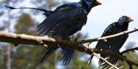 image: Dinosaurs' Shiny Black Feathers
