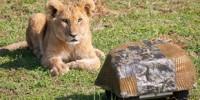 image: Lions Up Close