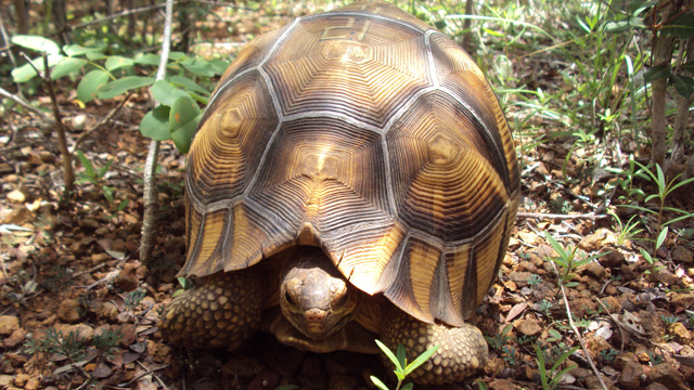 A tattoed Plougshare tortoise released into the Madagascar wildernessDurrell Wildlife Conservation Trust