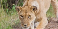 A lioness pins BeetleCam as she investigates it.