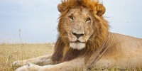 Portrait of a male lion in the Masai Mara, Kenya.