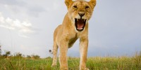 This may look like a rouring lioness… but she was actually just yawning!