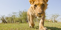 A young male lion fixes BeetleCam with the intense stare of a predator as he approaches.