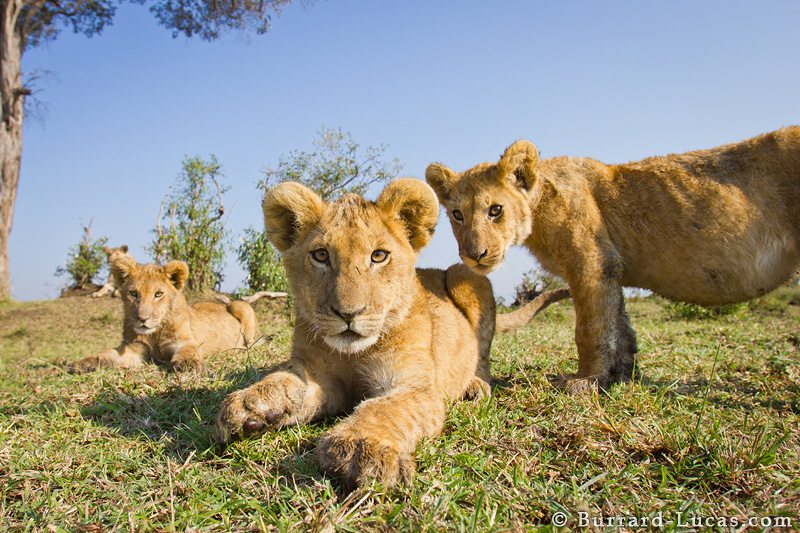 BeetleCam photographs some young lion cubs.
