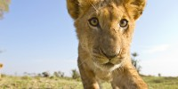 This lion cub close-up ended up on the cover of Africa Geographic Magazine.