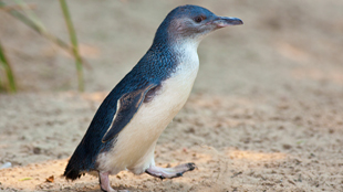 Little penguin, Eudyptula minor
