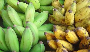 image: Banana Fungus Origin Revealed